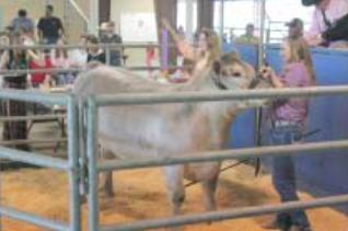 Madisyn Beach shows her Grand Champion Steer at the Channelview ISD Livestock Show at the Allen Hall Fairgrounds on April 11. Beach's steer sold for $6,000.
